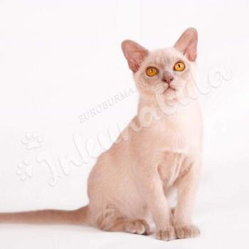 Reviews - burmese cat