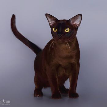 Tribal Burmese cats