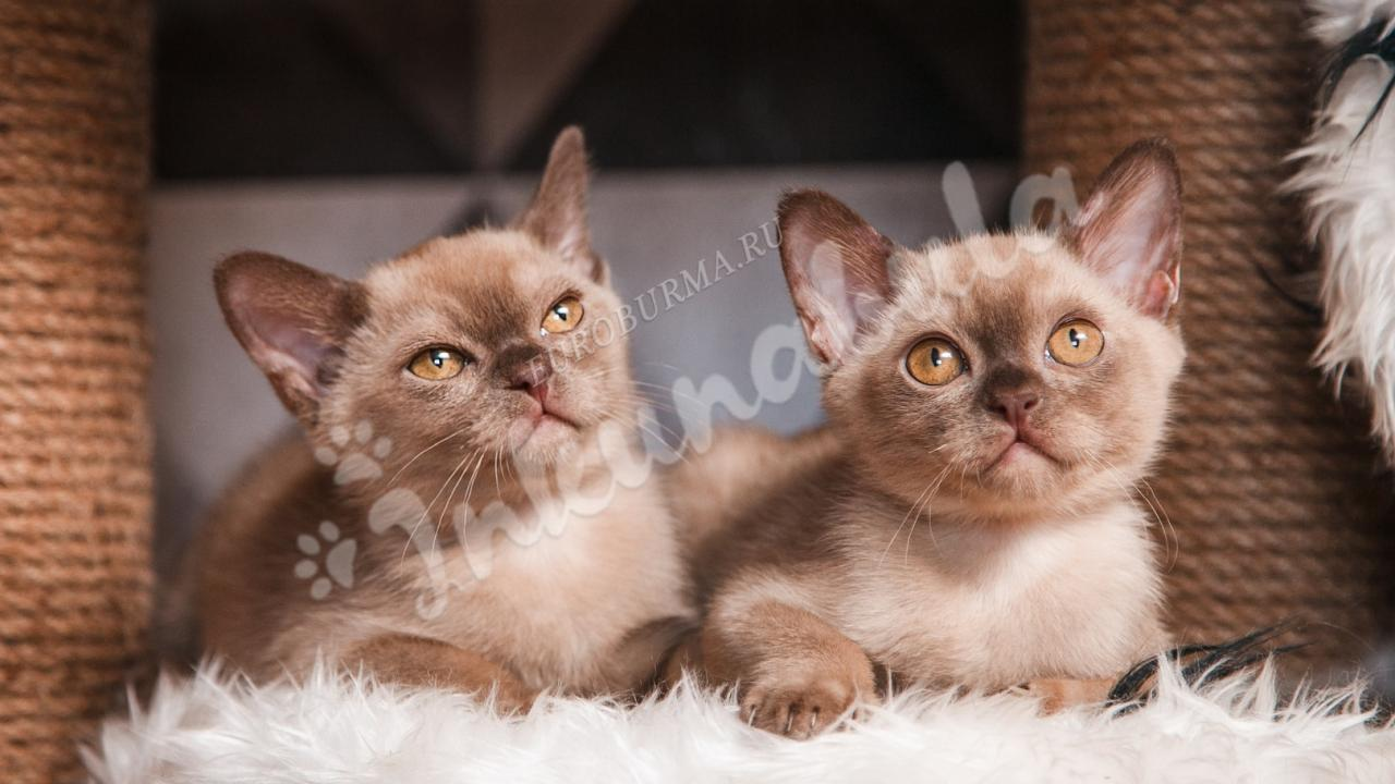 Burmese cat photo