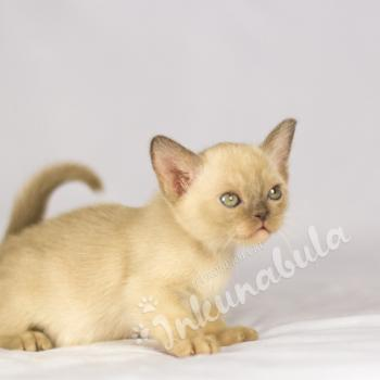 Kittens Burmese cats